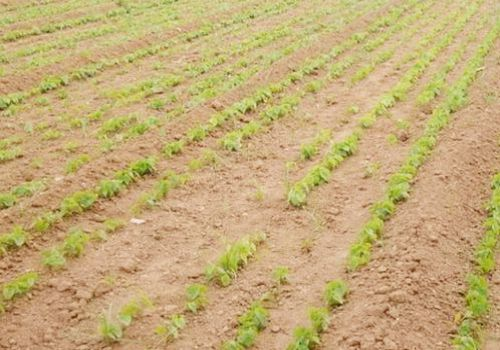 山药种植关键点是什么?种植利润怎么样?